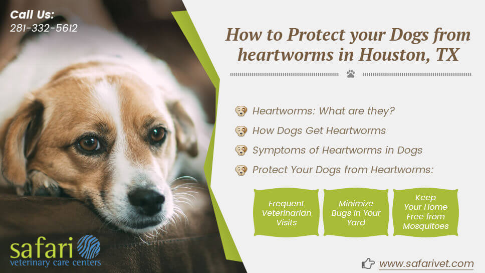 How to Protect your Dogs from heartworms in Houston, TX