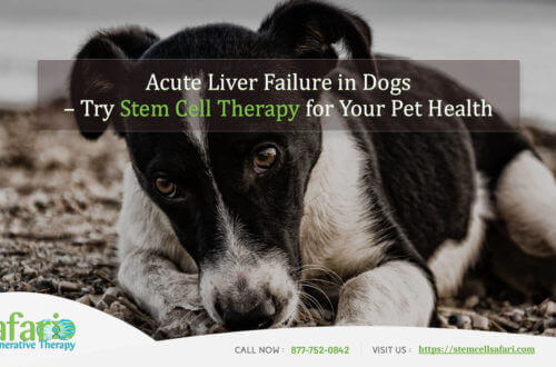 Acute Liver Failure in Dogs Try Stem Cell Therapy for Your Pet Health