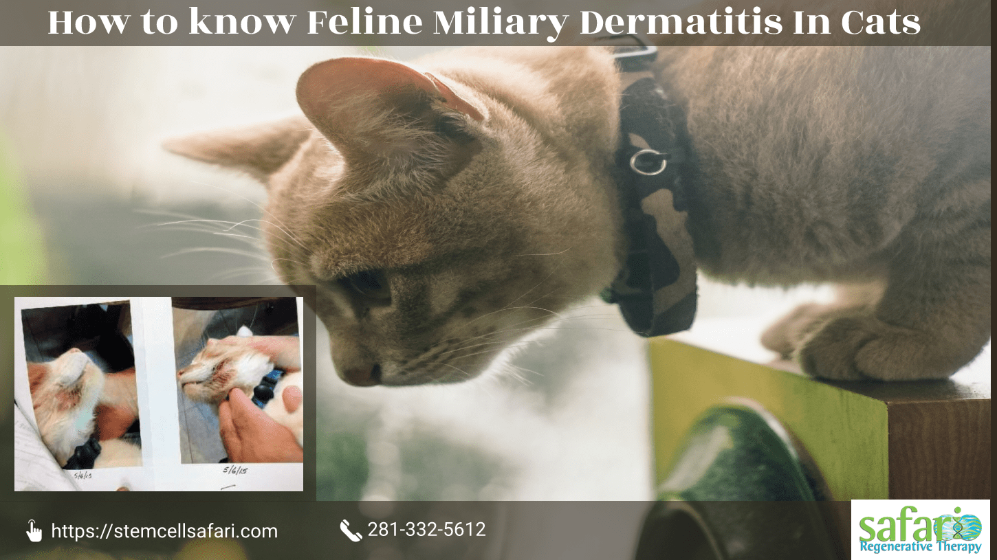 How to know Feline Miliary Dermatitis In Cats-min