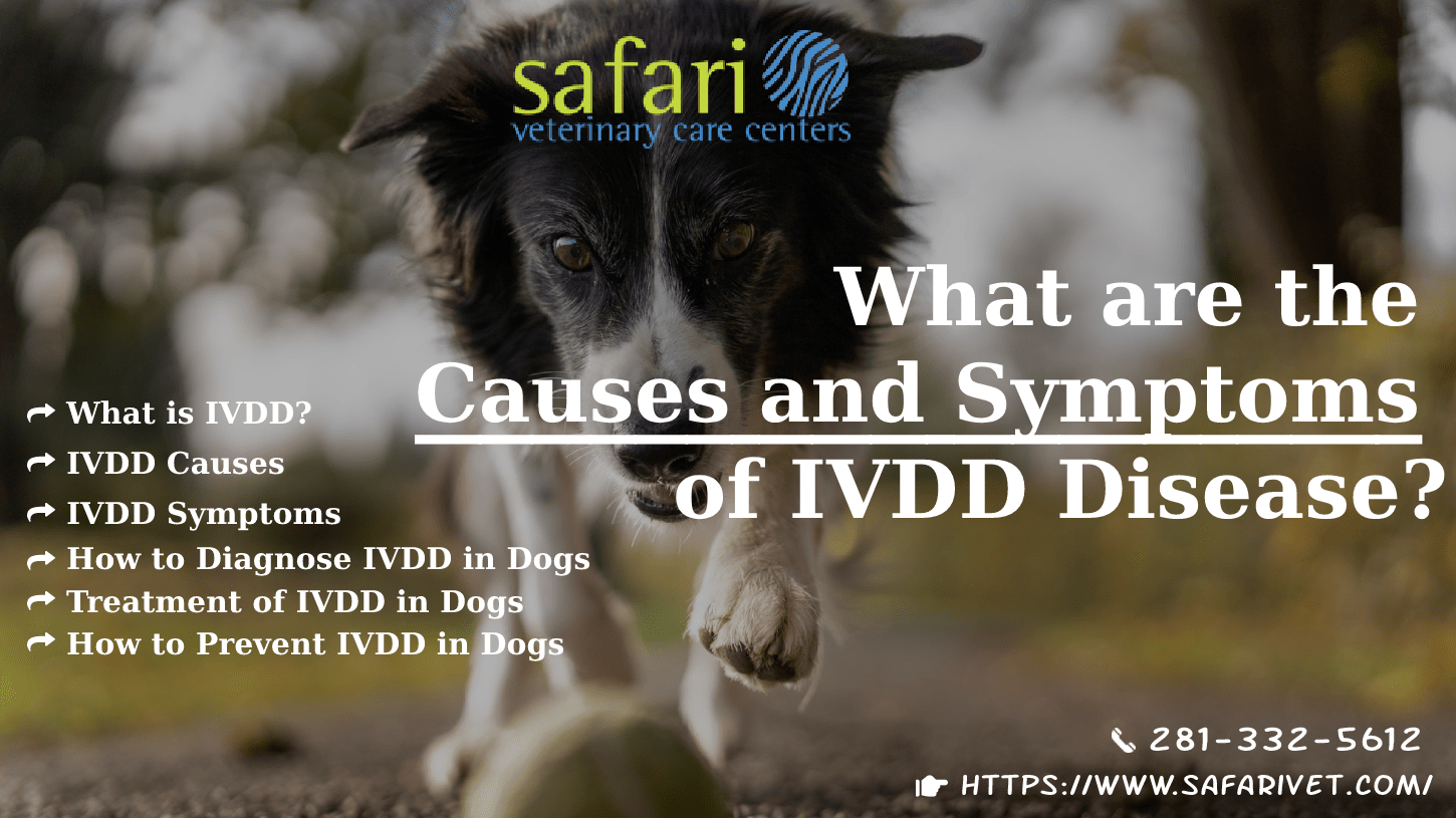 What are the Causes and Symptoms of IVDD Disease How to Prevent in the Dog-min